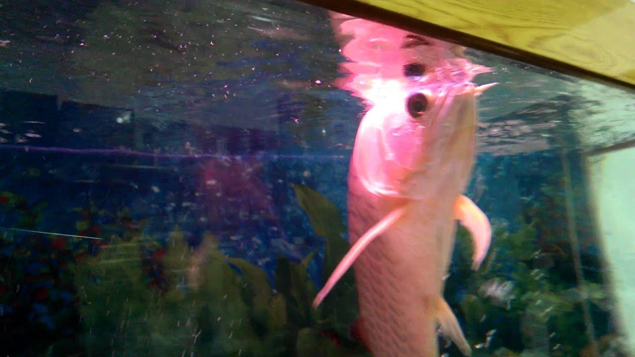 我家紅龍魚是不是生病了他已經一個月都游這樣子頭在水上沒有游下來過 - YouTube