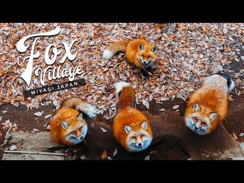 Fox Village in Miyagi Zao (Shiroishi, Japan) — The Fluffiest Place on Earth! ~ キツネ村