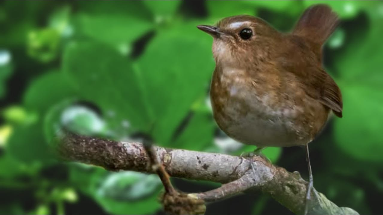 Terapi Gemericik Air Dan Suara Burung Jongkangan Coklat Gacor Pikat Mas Burung Coklat Suara