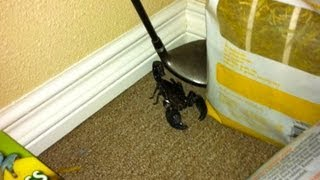 One of NIkkiandJohnVLOG's most viewed videos: The Scorpion Escapes