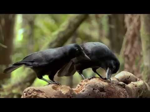 Världens natur - De kloka fåglarna. Kea, Kråka, Korp.