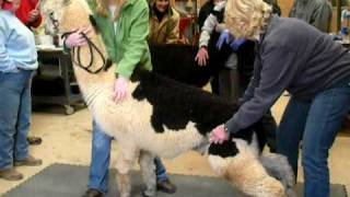 Alpaca Induction and Castration