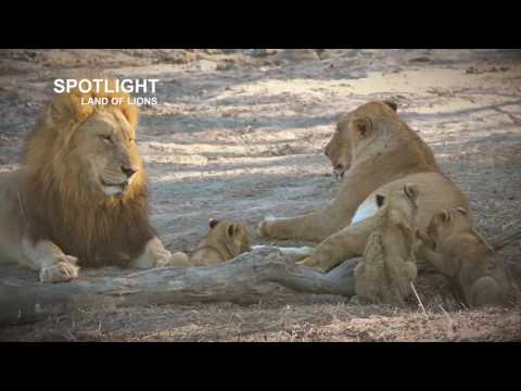 Lions take over and kill cubs