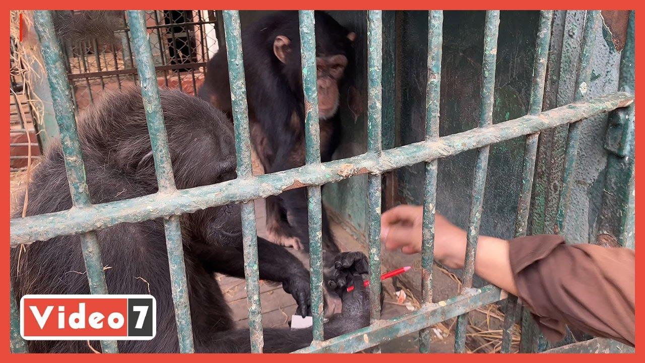 القرد الفنان.. شاهد ما الذى فعله القرد بالألوان  - 10:58-2021 / 3 / 3