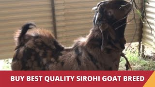 Sirohi Goat - a goat breed from Rajasthan | India Video