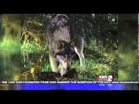 Idaho Wolf Population Report