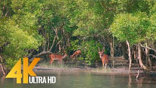 Sundarbans - The World's Largest Natural Mangrove Forest, India - 4K 60fps Nature Relax Video