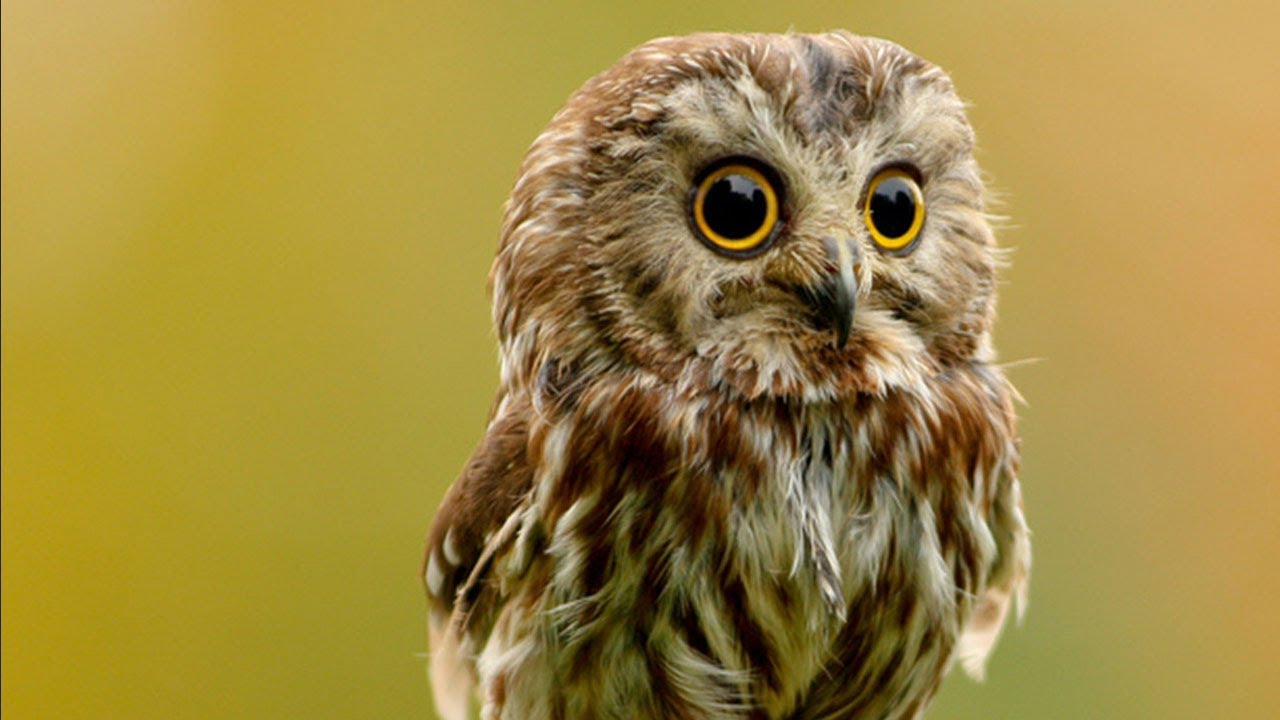 Png My Cute Baby Owls Youtube My Cute Baby Owls Youtube