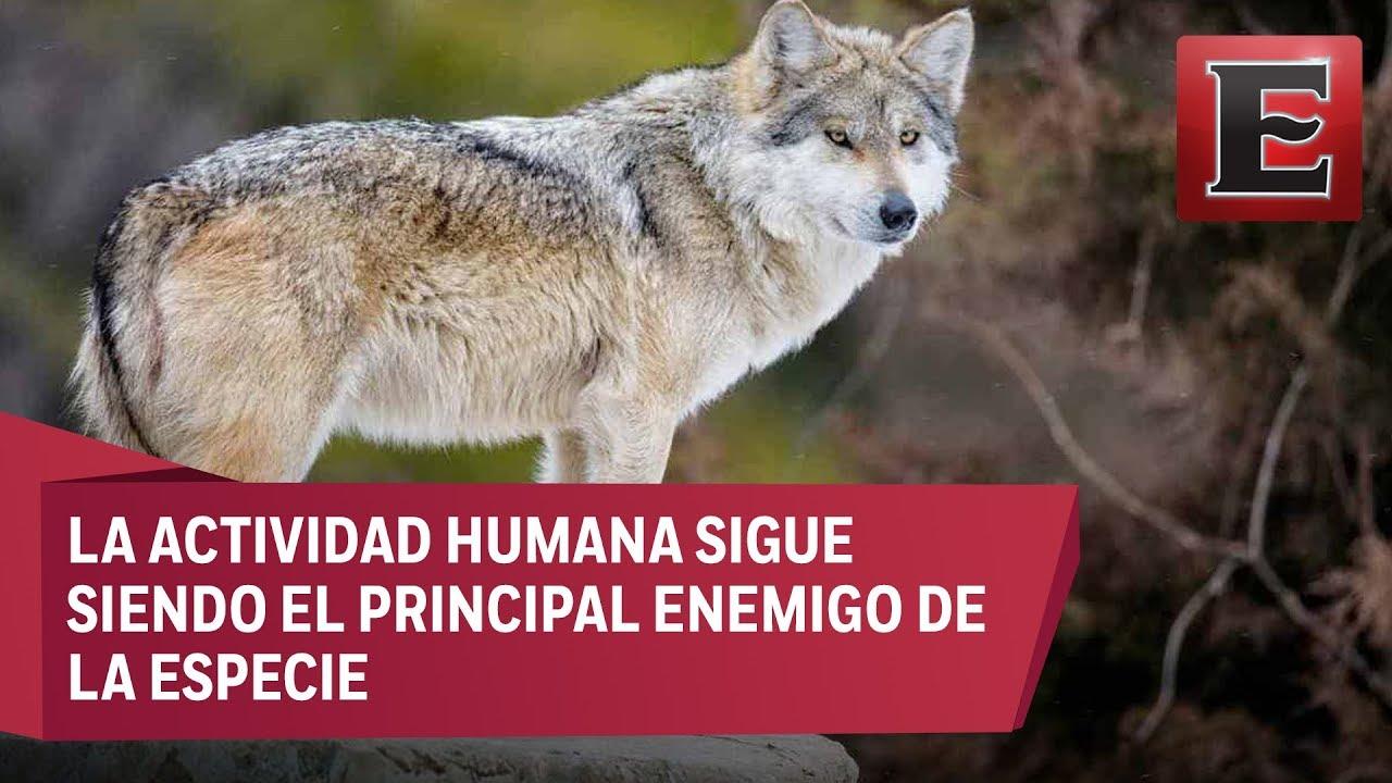 Lobo Gris Mexicano Se Encuentra En Peligro De Extinción Youtube