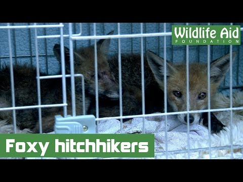Two baby foxes hitch a ride