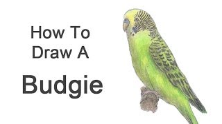 How to Draw a Budgie / Parakeet (Green)