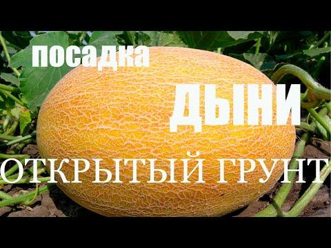 Посадка ДЫНИ в открытый грунт/Почему мы не мульчируем АРБУЗ И ДЫНЮ!? Московская область 2019 | проращивание | выращивание | прищипка | мануэла | арбузов | семена | арбуза | сорта | семян | бахча
