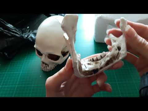 Unboxing Human Skull Model 1:1 from ebay