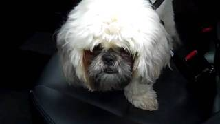 Bentley The Shih Tzu, #holidayroads Giveaway Recipient