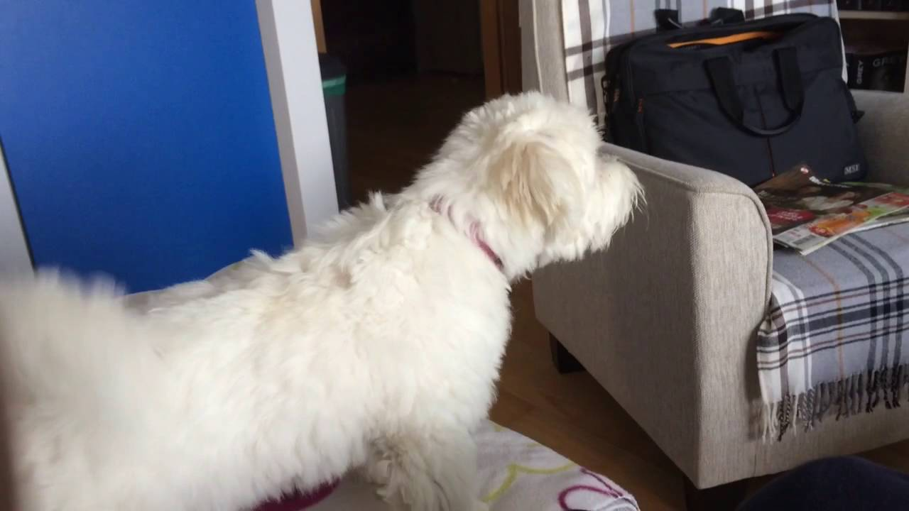 maltese barking cute maltese puppy barking at the tv cute tiny maltese 2415