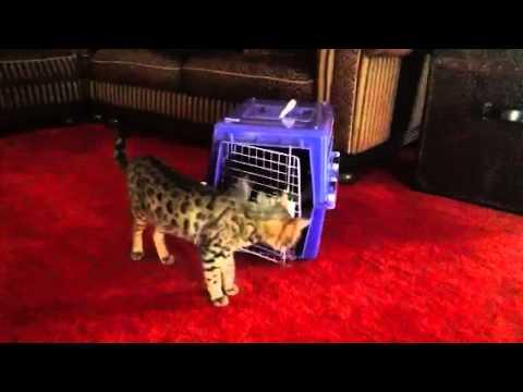 Smart cat locks the dog in!
