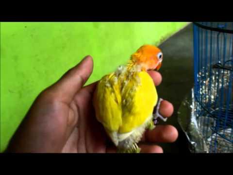 106+ Foto Gambar Burung Lovebird Lutino Mm HD Terbaru Gratis