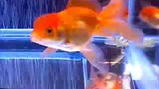 Oranda Goldfish Eating Green Beans