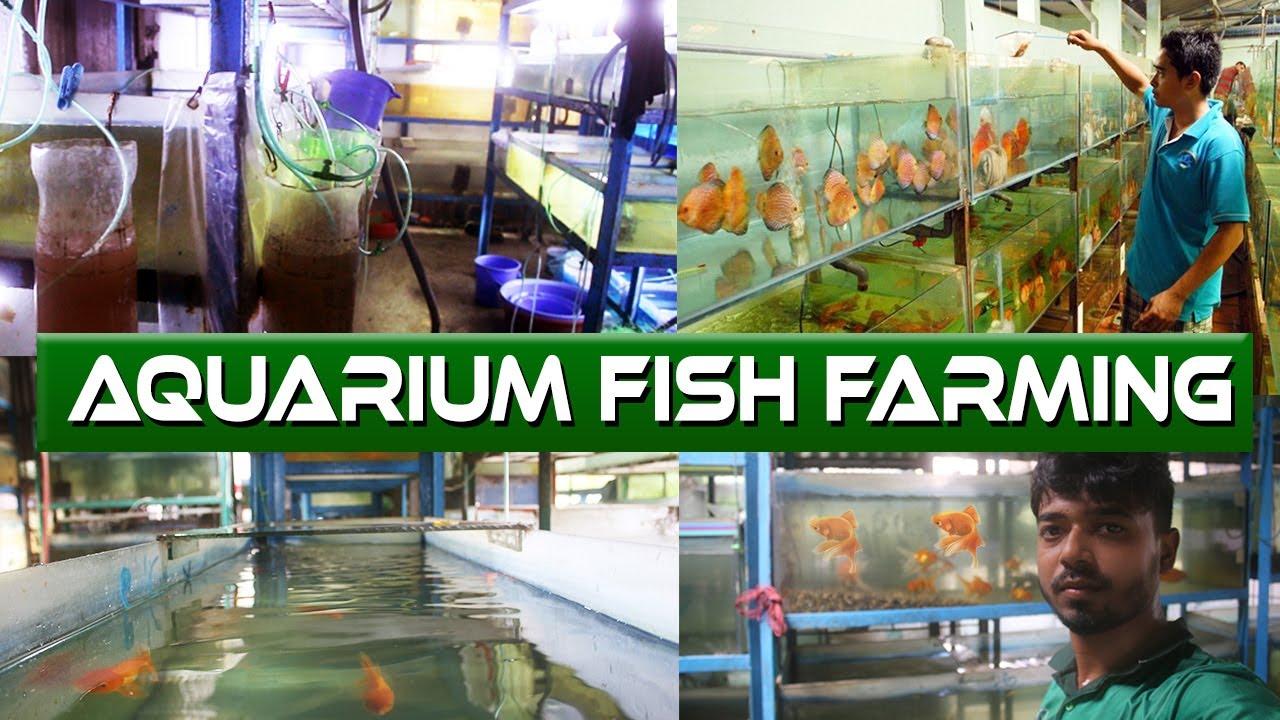 Biggest Ornamental Fish Farming You Ve Never Seen This Before Aquarium Color Fish Farm Tours Youtube