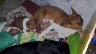 Басенджи Венди , Моня и щенок .  Ульяновск . Basenji Wendy, Monya and puppy