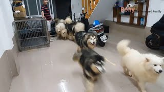 Alaskan Malamute Dog Breed