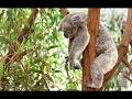 Koala Documentary   Australian Koalas   Cute Koala Bears   The Koala Bear   Animal & Nature Film
