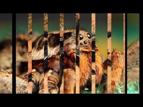 African Most Dangerous Spider Tarantura