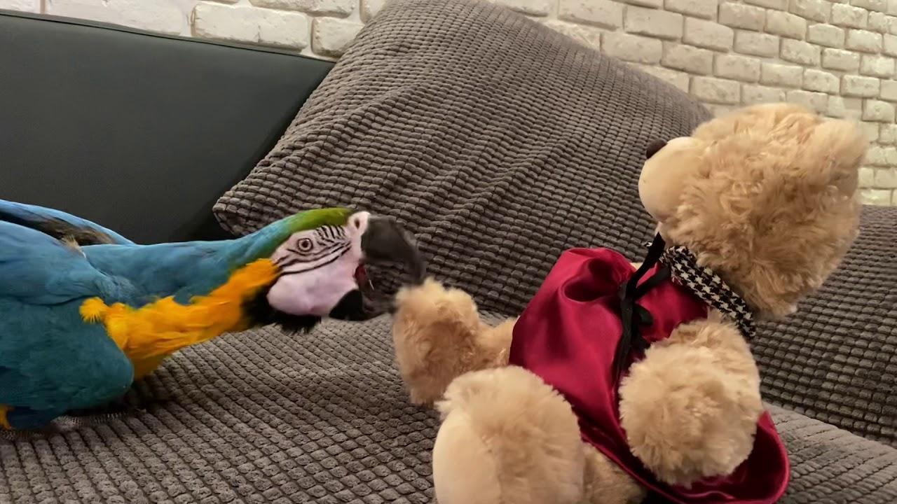 Попугай АРА играет с Медведем. Говорящий ара играет как ребенок.
