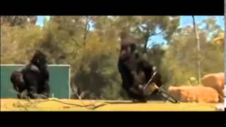Gta  Gorilla