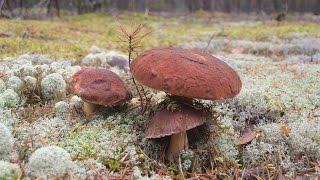Срезать или выкручивать. Белый гриб сосновый -  Boletus pinicola(Показан тип леса, где можно искать белый сосновый гриб. Соновый белый отличается от других белых грибов..., 2015-01-18T10:31:02.000Z)