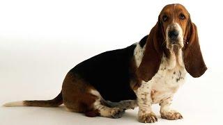 Собака породы Бассет-хаунд,  веселит своих хозяев