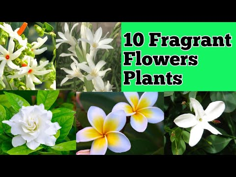 Top 10 Fragrant