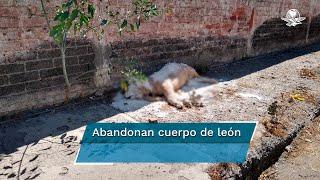 Hallan un león africano muerto en el corazón de Iztapalapa