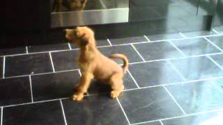 Irish Terrier Puppy Asking For His Lunch - Harley