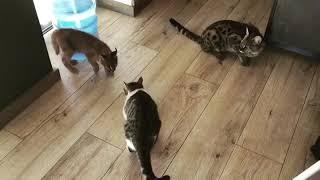 Кошка Саванна знакомится с Каракалом. Забавные кошки
