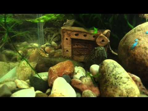 Речные рыбы в аквариуме
