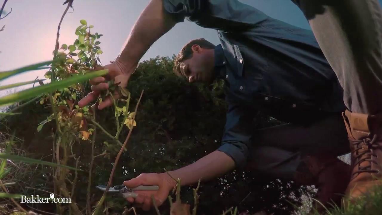 Quand Et Comment Tailler Un Rosier comment tailler les rosiers ?