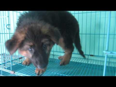 Mua bán chó bec đức thuần chủng 0986006465