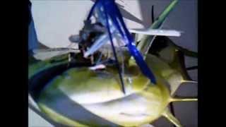 GoPro Dolphin Gaff (Mahi Mahi)