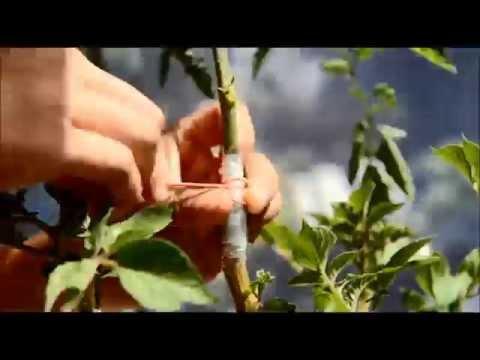 видео: Как привить томат на картошку