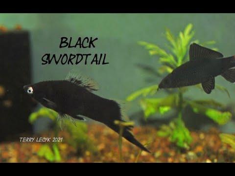 A True Black Swordtail