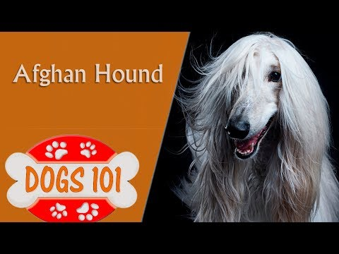 Dogs 101 - AFGHAN HOUND - Top Dog Facts About the AFGHAN HOUND