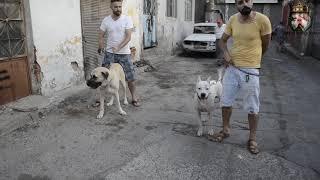 1 DOGO ARGENTİNO VE 1 KANGAL İLE SANAYİYE KAFA TUTMAK