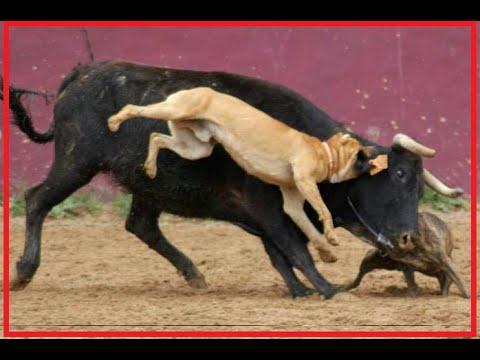 Thumbnail: when victims fight back: dog takes down a bull