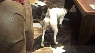 Jerry Lee & Sadies Playdate Jack Russell German Shepherd Dog