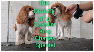 Cavalier King Charles Spaniel|one of the most expensive small dog breed in the world|shower time|