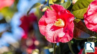 Quick Tips to Care for Camellias