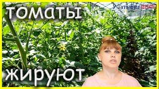 ЧТО ДЕЛАТЬ, если ПОМИДОРЫ /томаты/ ЖИРУЮТ: какой выход?
