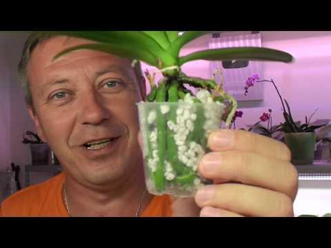 СОХНУТ корни орхидеи от Топаза? Орхидея с чёрным грибком на корнях