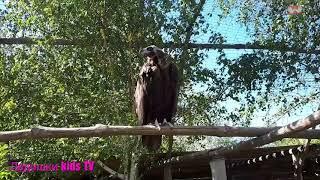 Сип Белоголовый Griffon Vulture